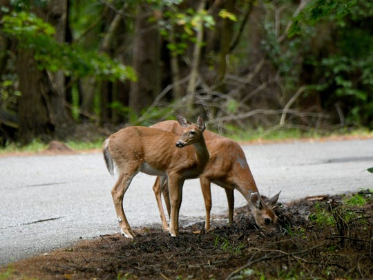 A pair of deer graze along the side of the road at