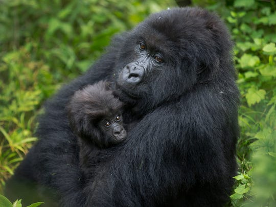 A baby mountain gorilla is held by its mother, on Mount
