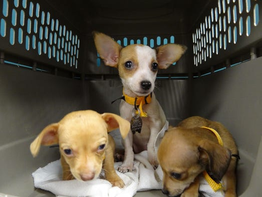 The Humane Society of Missouri rescued 39 Chihuahuas and small mixed breeds Tuesday in Carter County.