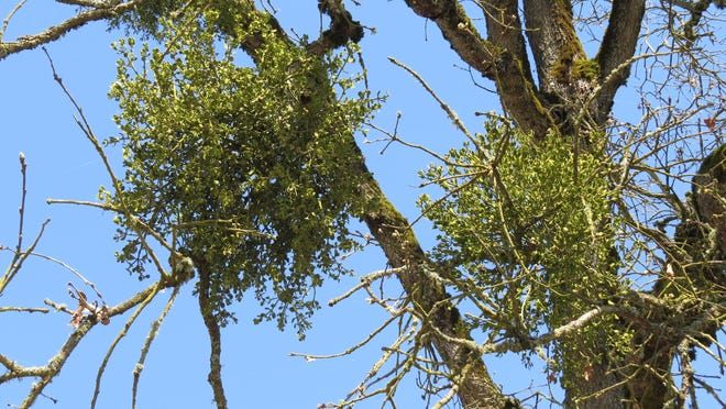 Oak trees infested with mistletoe are weak and may succumb to insects or drought more easily.