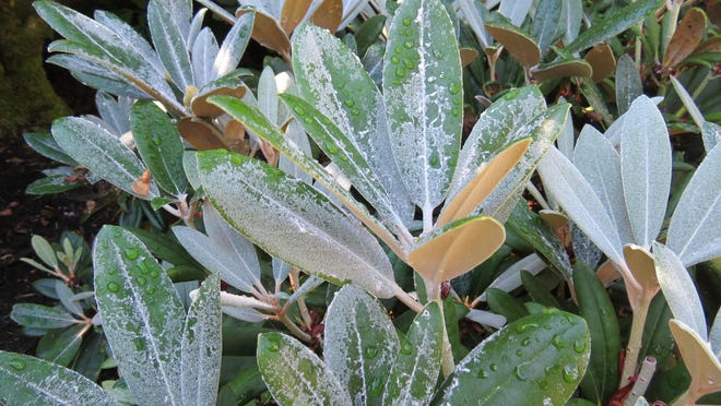 Confused with disease, fuzz on rhododendrons is praised for its look, pest resistance and drought tolerance.