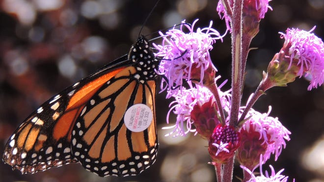 Gardeners and nature lovers across the state were on the lookout for monarch butterflies this year, as a severe winter storm wiped out millions of these stunning insects just as they were beginning their return to the U.S.