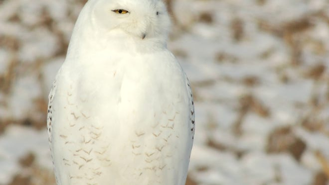 Snowy owls are residents of the high arctic tundra for much of the year, moving south in winter to spread out across the northern states, including Wisconsin.