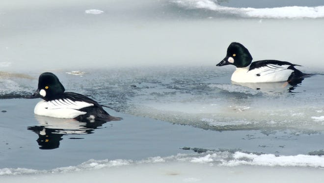 The male common goldeneye is a striking bird with white cheek patch, iridescent head and black and white body. Soon, they will begin their unusual courtship display, bowing and flexing for a mate.