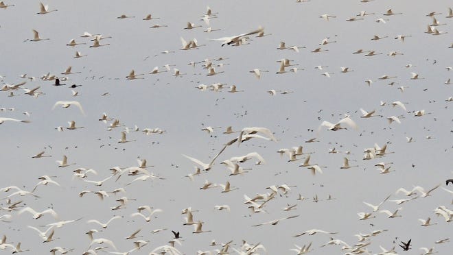 Spring migration already is underway and in just a few short weeks sights like this incredible flock of tundra swans on the move will fill the skies of east-central Wisconsin. These swans were captured on the wing in Outagamie County in late March.