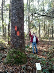 """A big spruce pine """"labeled' at the Bear Creek Educational forest."""