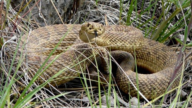 Prairie Rattlesnake in the East Missoula area.