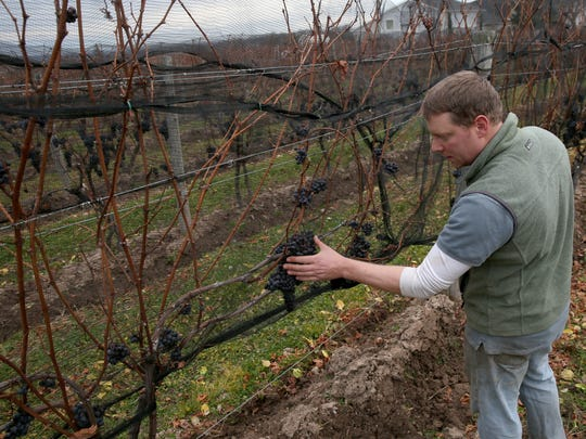 Matt Cassavaugh, winemaker for Casa Larga, in Perinton, checks on the grapes that will pressed into ice wine. Some years the grapes used to make ice wine were already harvested by December.