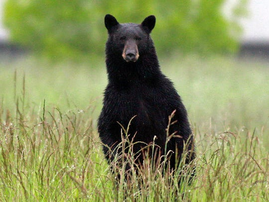 There are between 2,400 and 2,800 black bears in New