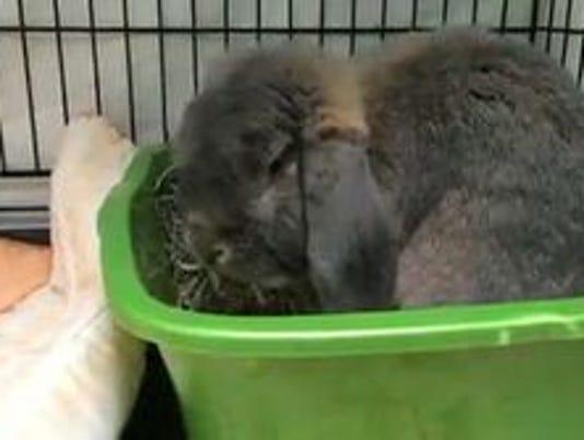 635963146101217849-OSH-Rudy-rabbit.jpg