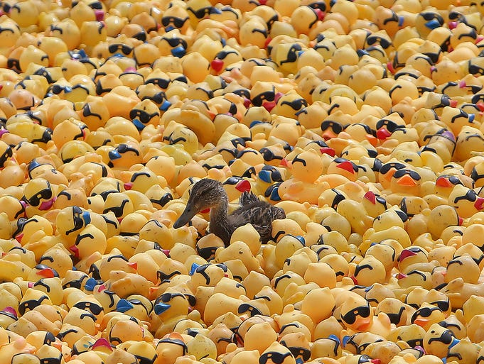 A duck swims among the rubber ducks that were dumped from the Purple People Bridge for the Freestore Foodbank's Rubber Duck Regatta during Riverfest on Sunday, August 31.