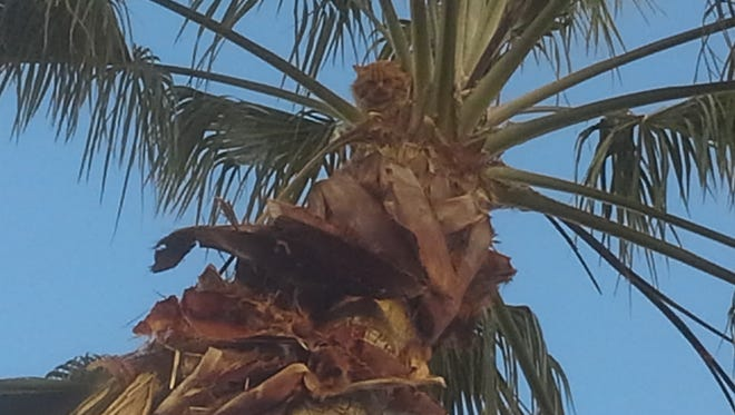 The mysterious thing in the Sun Lakes palm tree.