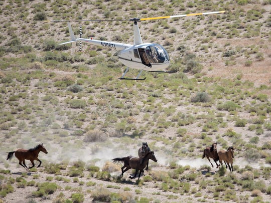 A BLM-contracted helicopter crew rounds up horses from