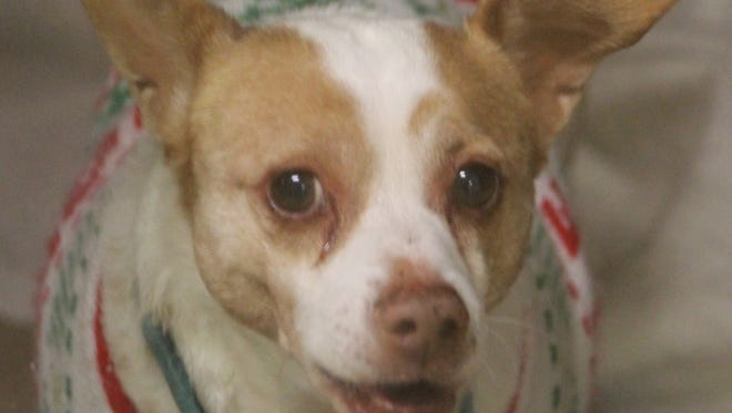 Howard is waiting at the Oshkosh Area Humane Society for a new home for Christmas.