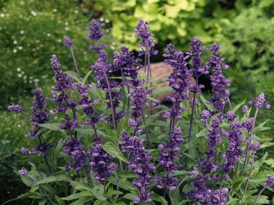 salvia-farinacea-evolution-violet-v0750-1jpg (1)