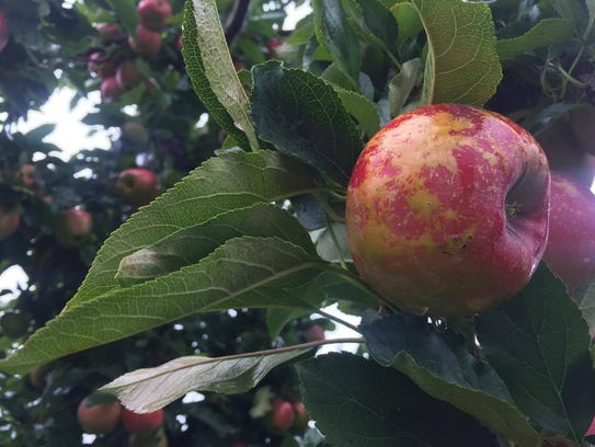 A Gala apple hangs from a limb at Wilklow Orchard.