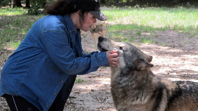 In this July 8, 2014 photo, founder Cynthia Watkins kisses a wolf inside the Seacrest Wolf Preserve in Chipley.