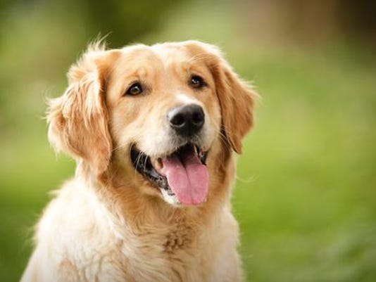 CINBer_06-11-2015_ARK_1_A007~~2015~06~09~IMG_golden-retriever.jpg_1_1_BPAU94