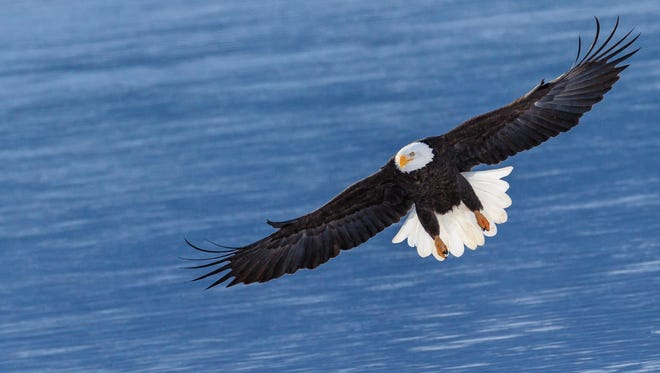 A eagle glides across the water. The bald eagle is the only eagle unique to North America. Its wingspan can be six to seven-and-a-half feet.