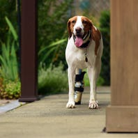 Incredible journey: 400 miles, 2 1/2 years later, escaped foxhound finds new life in upstate NY