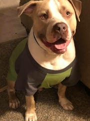 Kersey is a 3-year-old bully pit bull owned by Austin Wikum.