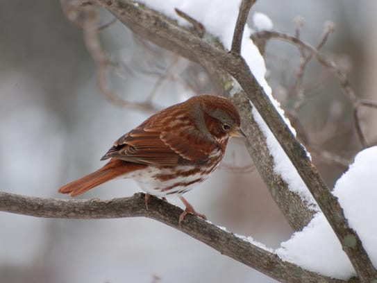 If you're lucky, a fox sparrow might visit your yard