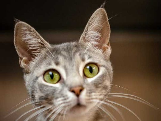 Cypress - Female (spayed) domestic short hair, about