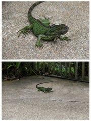 This Dec. 3, 2016, photo combo, shows a lizard at Jurong