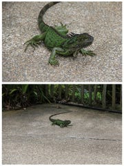 This Dec. 3, 2016, photo combo, shows a lizard at Jurong Bird Park in Singapore. Smartphone cameras have seen dramatic improvements, but technology alone won't produce shots that will grab people's attention on social media or in picture frames. Photographed from an angle closer to ground level, the top photo of the lizard provides more impact compared to the other image. In short, be willing to bend your knees or even lie on the ground to give viewers a fresh perspective.
