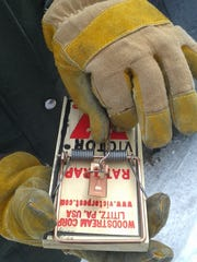 Wear thick gloves when setting a rat trap.