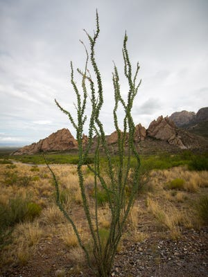 An example of Fouquieria splendens, or ocotillo plant, at the Dripping Springs Natural Area. The green nature of the plant indicates that it has rained in the area in recent two weeks.