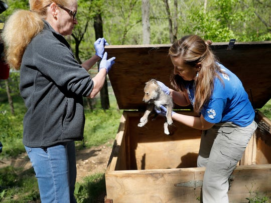 Regina Mossotti, director of animal care and conservation at the Endangered Wolf Center, pulls a Mexican wolf born April 2 at the facility out of his den to give it a quick checkup with veterinarian Rhiannon McKnight, left, Monday, April 24, 2017, in Eureka, Mo. The wolf was conceived by artificial insemination which is offering new hope for repopulating the endangered species by using sperm that had been frozen. (AP Photo/Jeff Roberson)