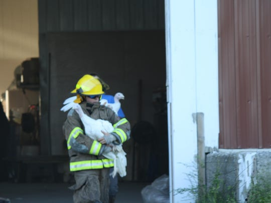 A firefighter rescues turkeys from a barn fire Sunday