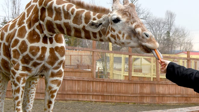 Tajiri, the giraffe baby of April and Oliver, is celebrated his first birthday on April 15.