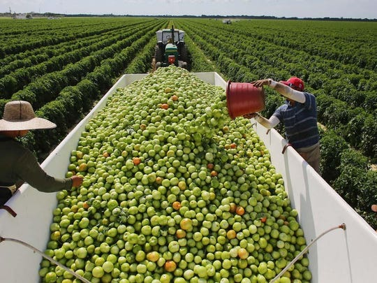 Workers fill a trailer with tomatoes as they harvest them in the fields of DiMare Farms in Florida City. Florida is now No. 1 in tomato production in the U.S.