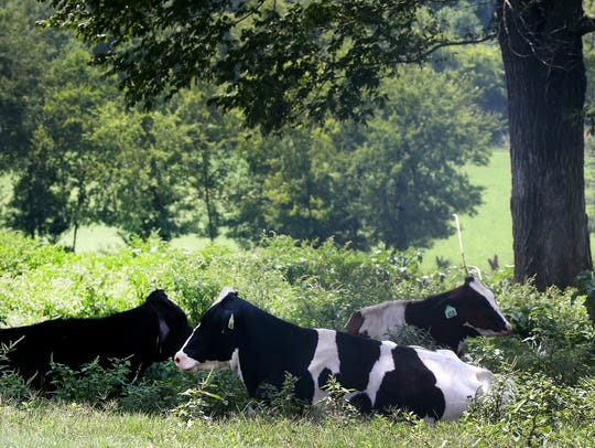 The heifers, mature cows that have not had a calf,