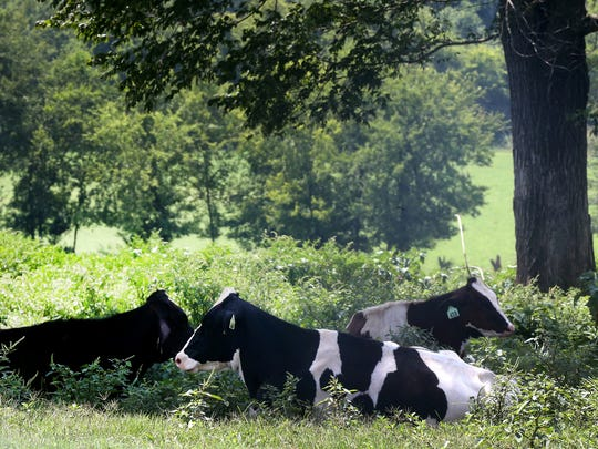 The heifers, mature cows that have not had a calf, keep cool in the shad of trees on the farm at MTSU's Experiential Learning and Research Center, in Lascassas, on Thursday, July 20, 2017.