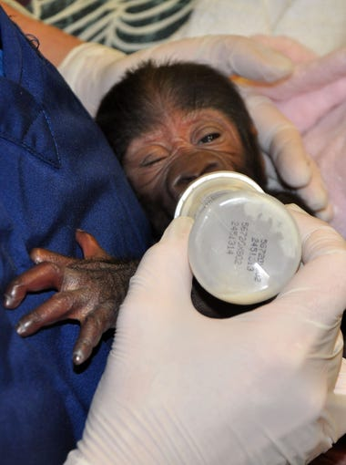 Jill Katka, assistant mammal curator at the  Gorilla Forest exhibit at the Louisville Zoo, feeds the baby gorilla --  born prematurely last month -- shortly after the animal was born.