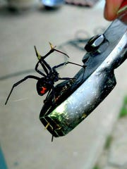Black widow spiders often are found in garages and closets.