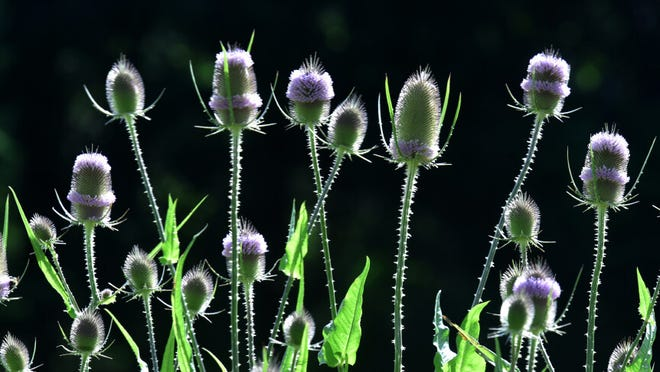 Thistles catch the morning sun in all their spiked glory at the Audubon's Ashumet Holly Sanctuary.