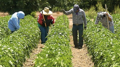 Workers clear a chile field of weeds near Hatch in this July 2010 file photo.Most field workers are in the United States legally, but farmers worry evolving immigration policies may keep many from staying in the United States to work.