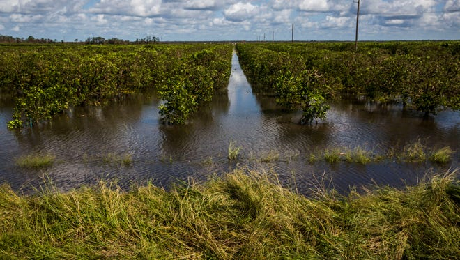 Flooded orange fields along Immokalee Road about a mile outside Immokalee on Monday, Sept. 12, 2017.