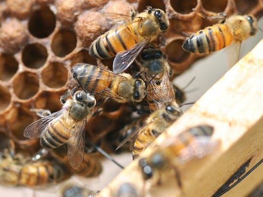 In this file photo, honey bees work on a honey comb tray at Garcia Brothers Honey Farm in Mesilla, N.M.