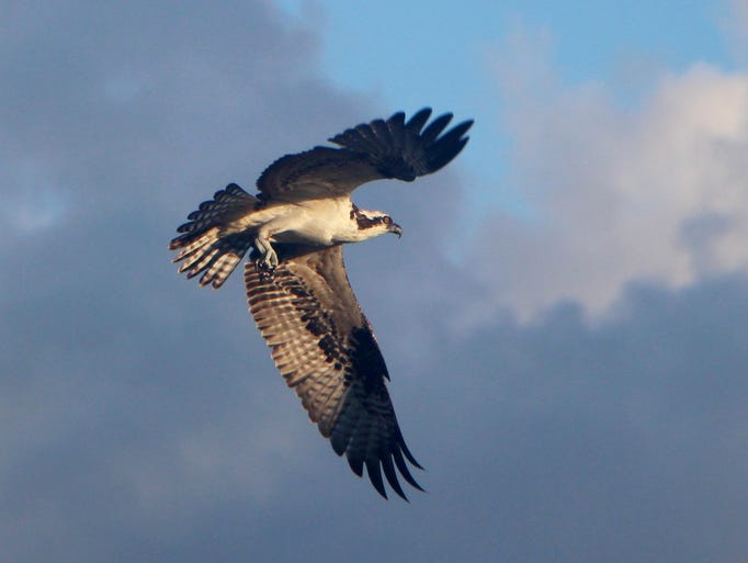 Melissa Keyes took this photo of an osprey flying over