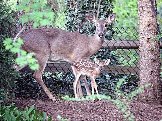 Deer in East Lansing