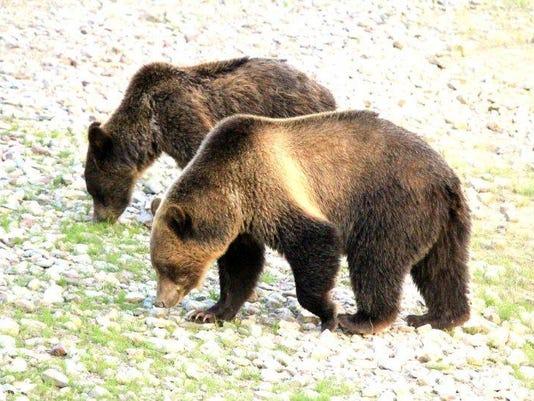 w 1022 Logging Grizzly bear.jpg
