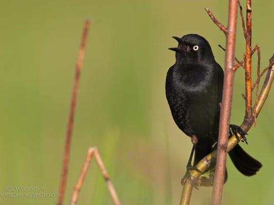 APC 031314 Yard MD BLOG- Rusty blackbird blitz.jpg