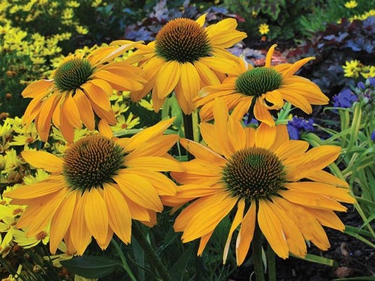 APC yard md year of echinacea LEAD .jpg