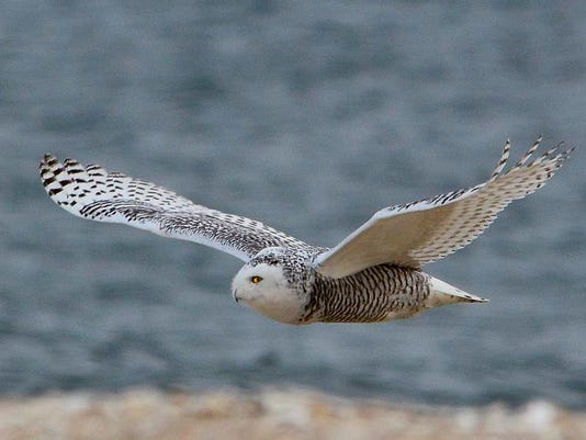 Islander Wings Over LBI Snowy Owl Flying.jpg