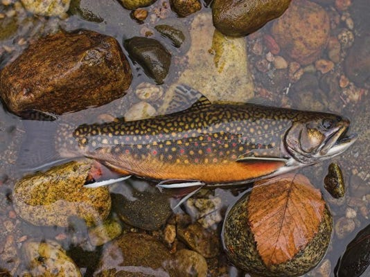 2006_09_15 - Nasmith Br, Brook Trout 2.jpg